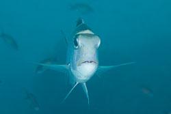 BD-150228-Ras-Mohammed-7343-Monotaxis-grandoculis-(Forsskål.-1775)-[Humpnose-big-eye-bream].jpg